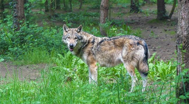 lupo bosco