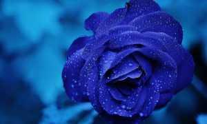 rose 165819 640